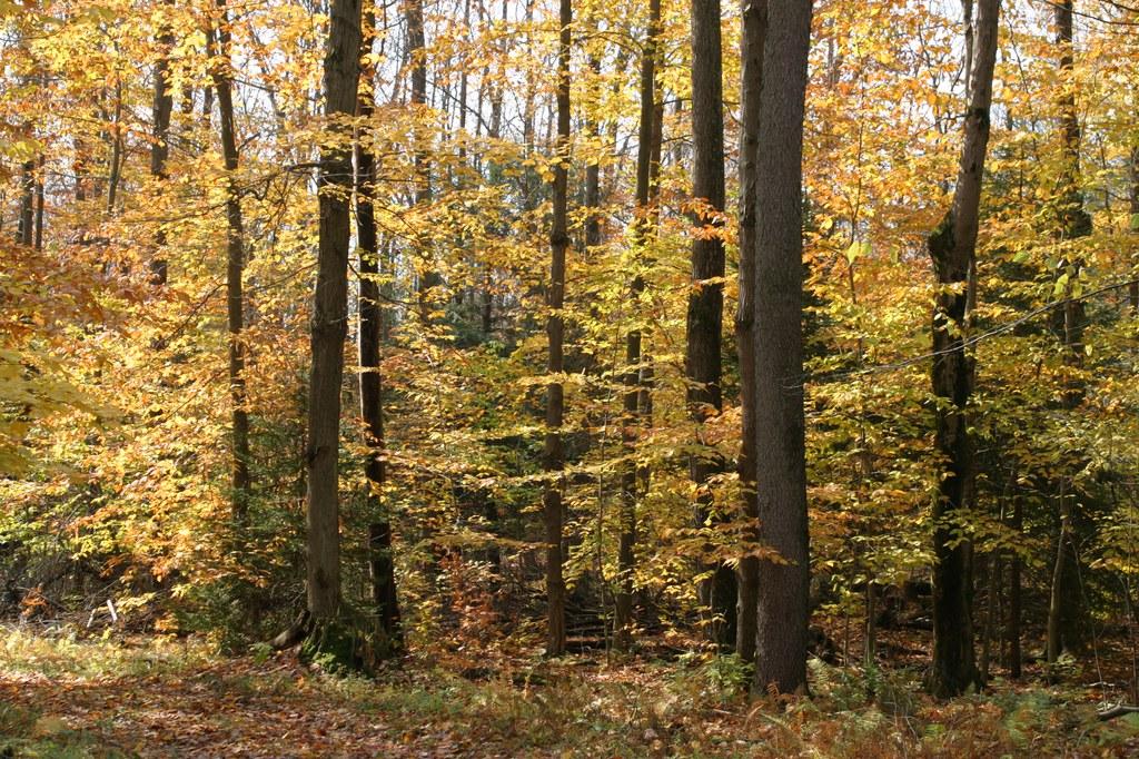 Beech trees in fall