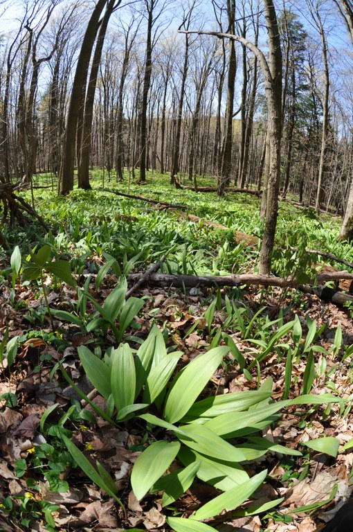 Allium tricoccum, ramps, produce leaves before most other plants in the spring.