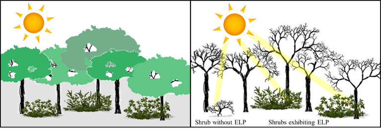 The left panel represents the forest during the growing season. Extended leaf phenology (ELP) becomes apparent at the extreme ends of the growing season (early spring and late fall) when most other species have lost their foliage, as depicted on the right