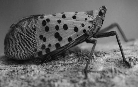 Stay alert! The Spotted Lantern Fly matures to the adult stage in July. PA Department of Agriculture