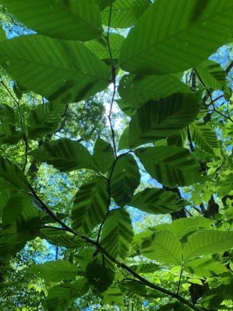 This photo shows the interveinal leaf darkening of beech leaf disease. Photo by Sarah Wurzbacher