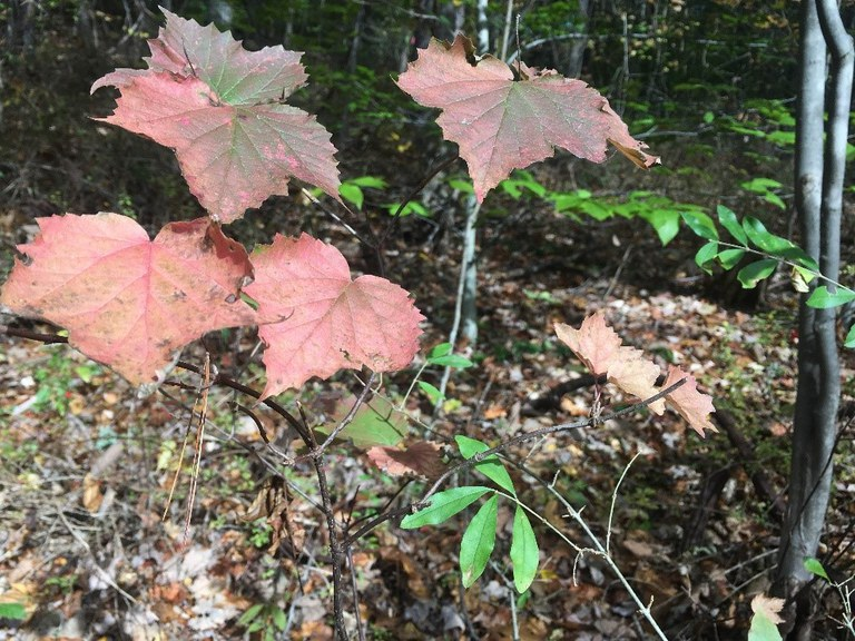 Native maple-leaf viburnum with red fall foliage adjacent to invasive privet, still green.