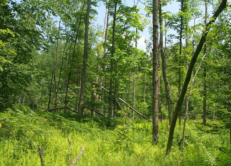 A high-grade cut, where a logger takes the best trees and leaves the rest, typically leaves an unattractive woodlot with lower future value. Note that the forest shown has only small and low-quality trees from which to grow. (Photo by Chris Nowak)