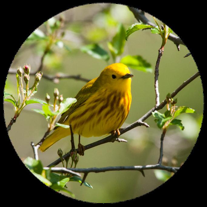yellowwarbler.png