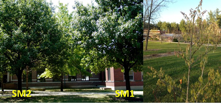 The Northern red oak reference tree (right) sequenced by Penn State University and the HudsonAlpha Institute for Biotechnology and its grandparent trees (left) at Purdue University (courtesy Jeanne Romero-Severson.