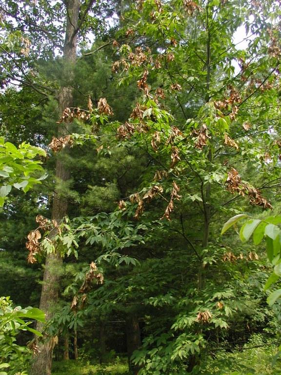 Photo Barbara Knapp - Cicada damage on one of her trees