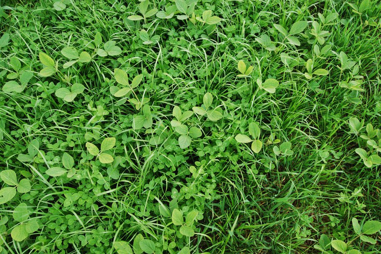 Current research compares cover crop monocultures to diverse mixtures like the soybean, rye grass, red clover mix shown here.