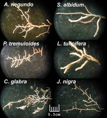 Tree species variation in root architecture and function