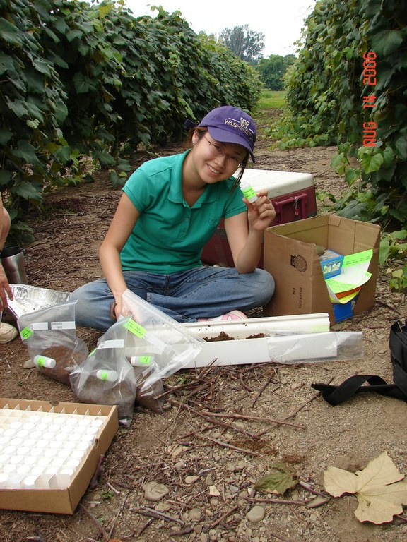 Determining root distribution in a Concord Grape vineyard