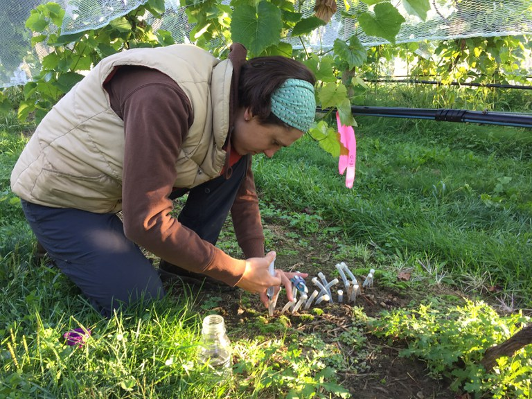 Suzanne injecting stable isotopes of water to trace root water extraction of grape vines