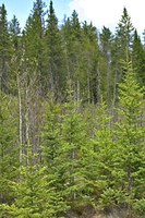 Small-scale structural complexity - Spruce