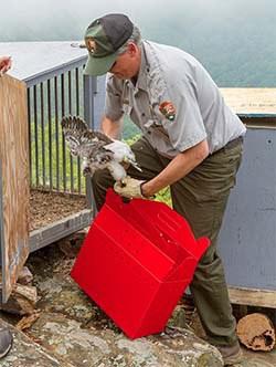 Park ranger Rolf Gubler helped reintroduce peregrine falcons into Shenandoah National Park. (Shenandoah National Park)